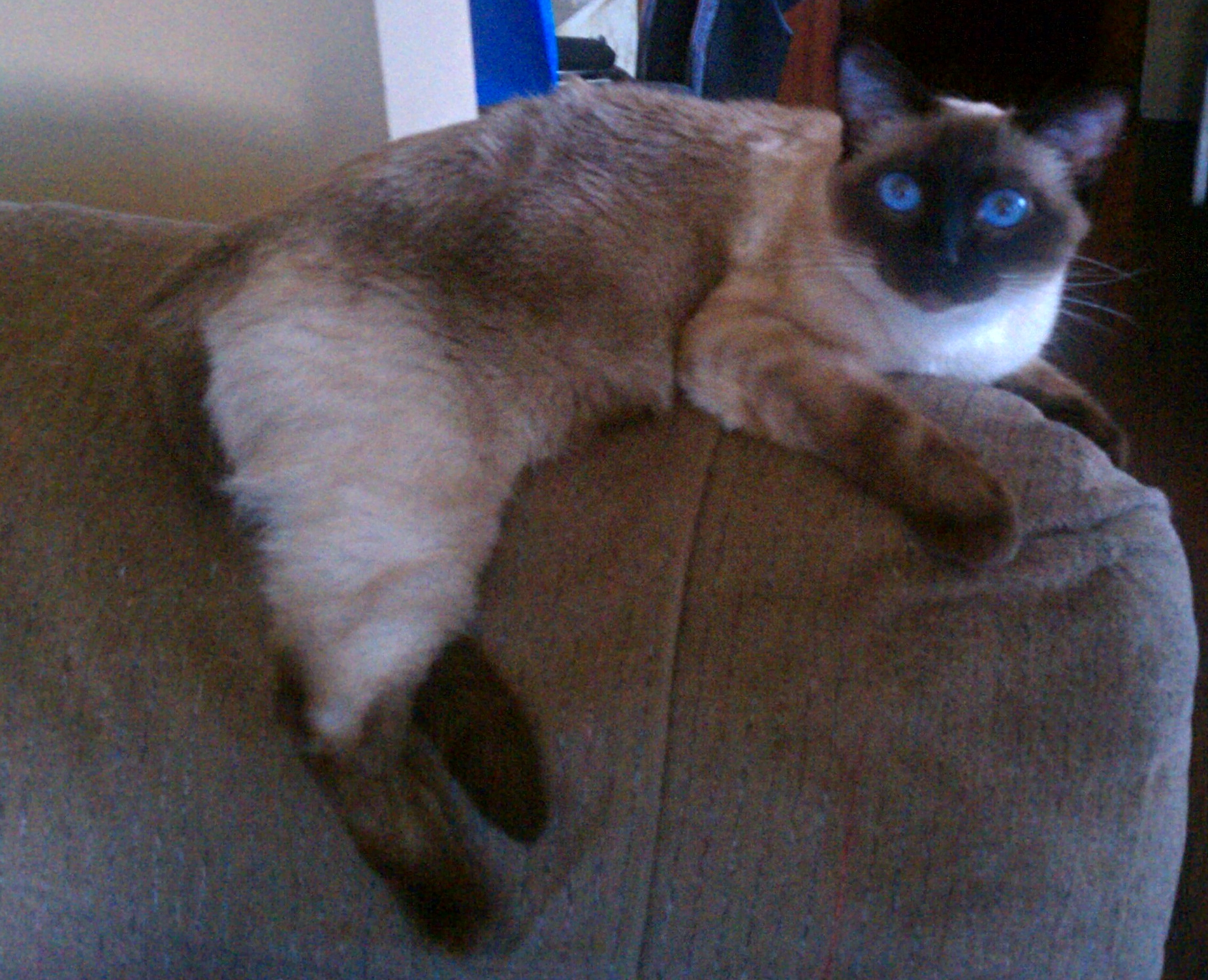 Royal Points: Tail Of A Siamese Cat | The Nittany Pride